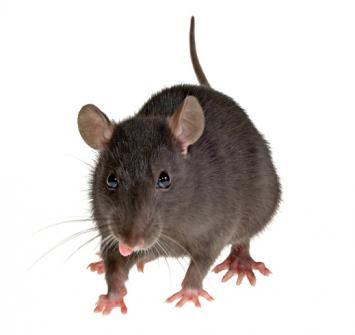 Rato de Telhado